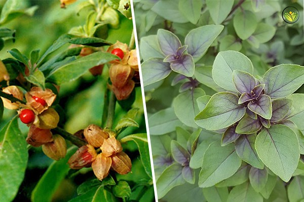 Ashwagandha In Combination With Other Plants